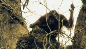 印度尼西亚-猩猩因失去家园伤心而死(图)